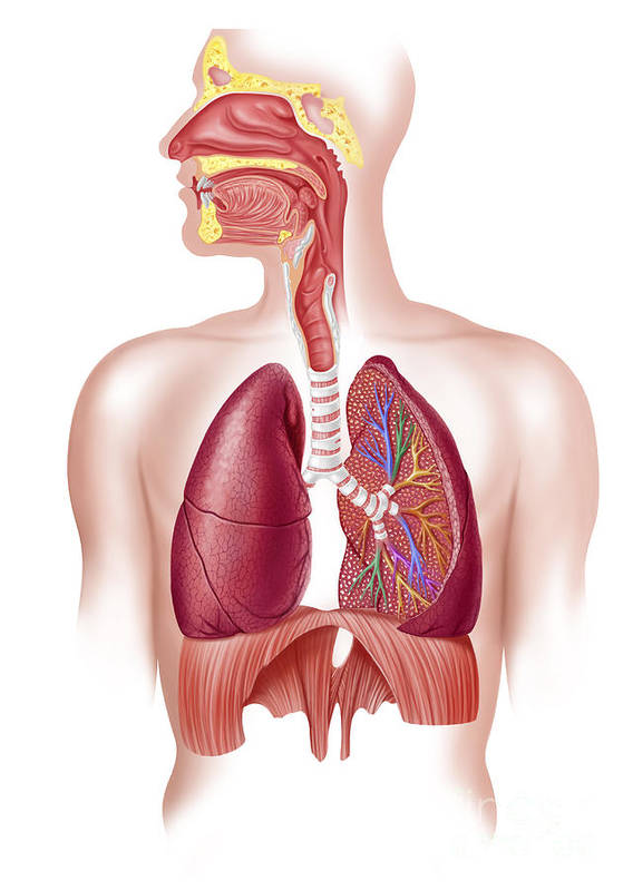Air Poster featuring the digital art Cutaway Diagram Of Human Respiratory by Leonello Calvetti