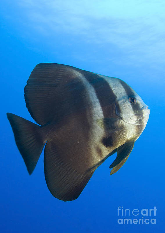 Ephippidae Poster featuring the photograph Longfin Spadefish, Papua New Guinea by Steve Jones
