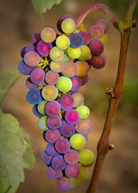 Grapes Poster featuring the photograph Jewel Tones by Jean Noren