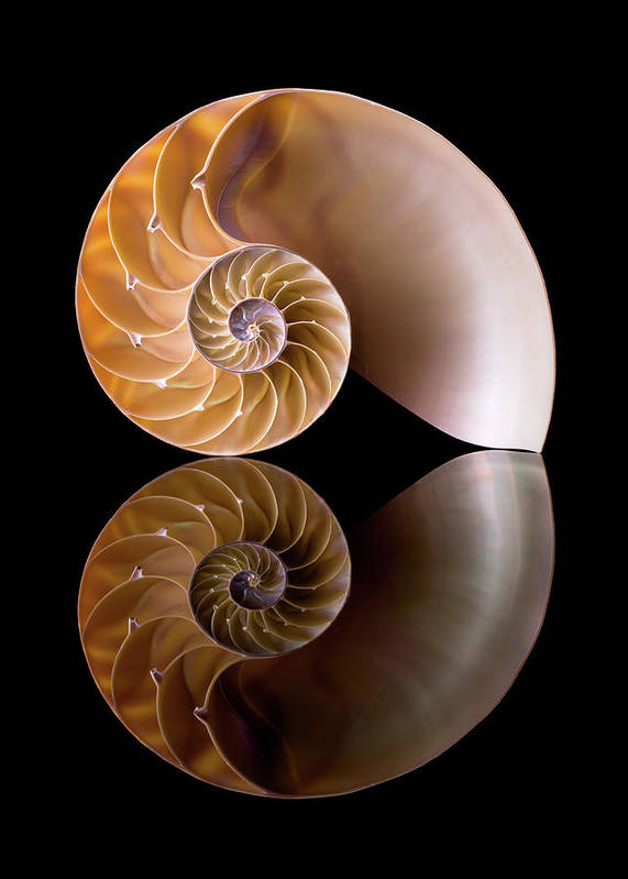 Shell Poster featuring the photograph Chambered Nautilus by Jim Hughes