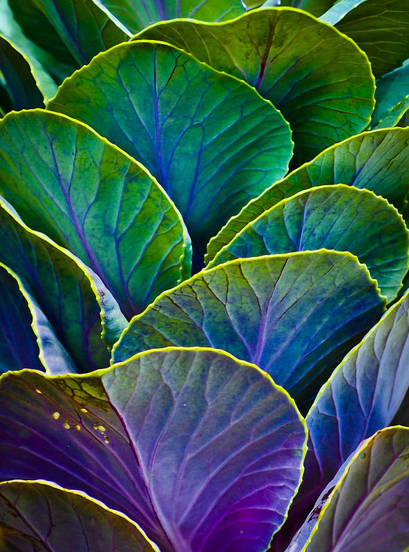 Organic Poster featuring the photograph Colors Of The Cabbage Patch by Christi Kraft