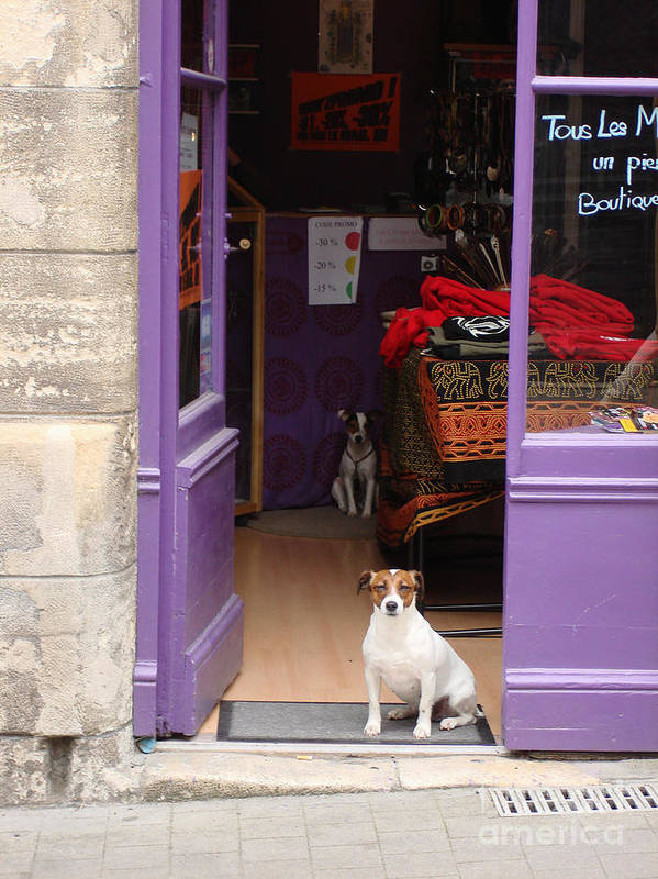French Dogs Poster featuring the photograph Minding The Shop. Two French Dogs In Boutique by Menega Sabidussi