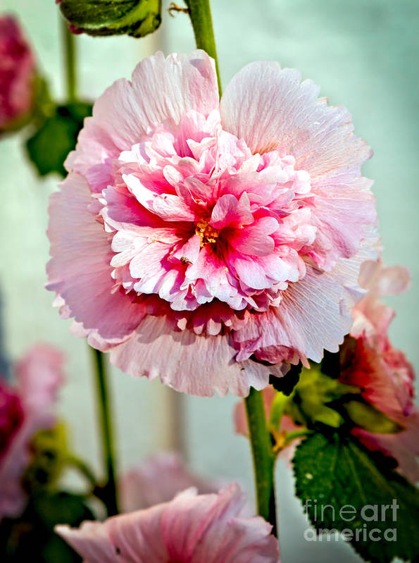 Alcea Poster featuring the photograph Pink Double Hollyhock by Robert Bales