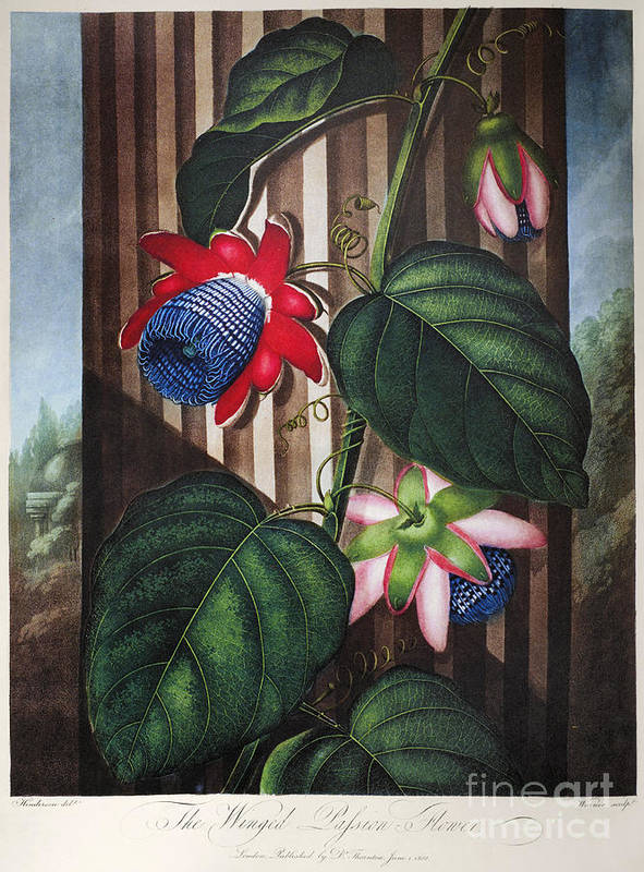 1802 Poster featuring the photograph Thornton: Passion-flower by Granger