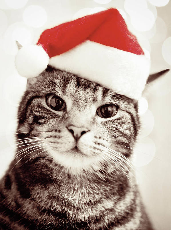 Vertical Poster featuring the photograph Cat Wearing Christmas Hat by Michelle McMahon