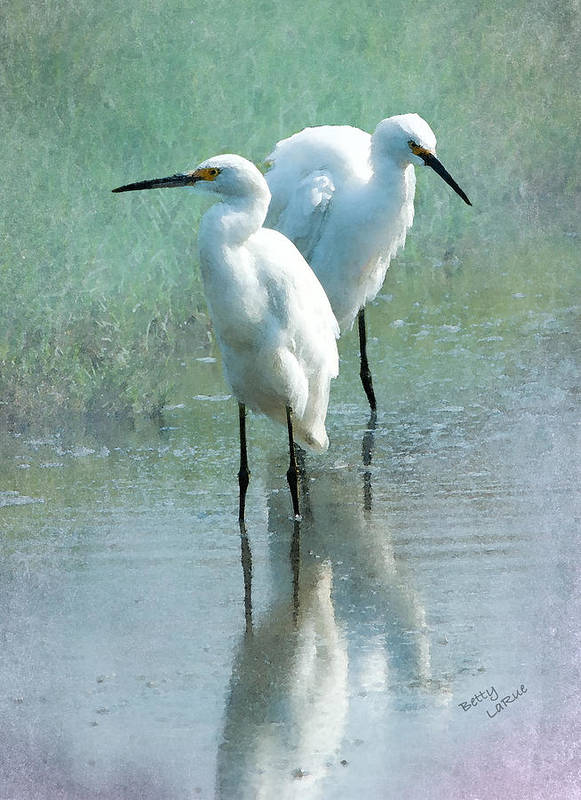 Great Egret Poster featuring the photograph Great Egrets by Betty LaRue
