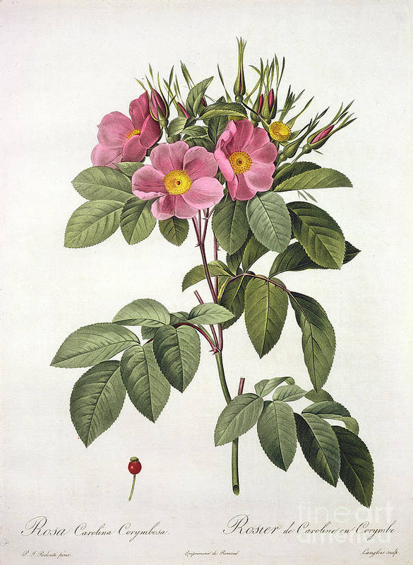 Rosa Poster featuring the drawing Rosa Carolina Corymbosa by Pierre Joseph Redoute