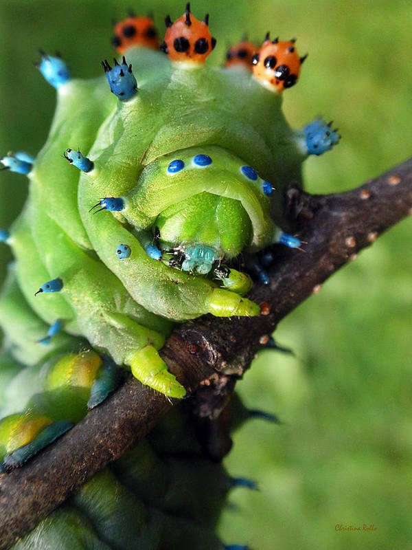 Cecropia Caterpillar Poster featuring the photograph Alien Nature Cecropia Caterpillar by Christina Rollo