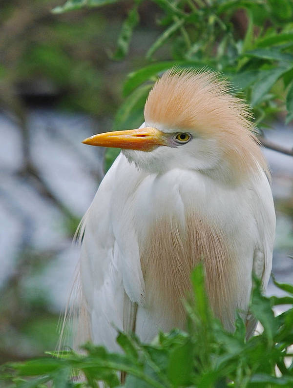 Egret Poster featuring the photograph Cattle Egret by Skip Willits