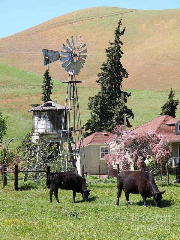 Bayarea Poster featuring the photograph Cows Home On The Ranch At The Black Diamond Mines In Antioch California 5d22354 by Wingsdomain Art and Photography