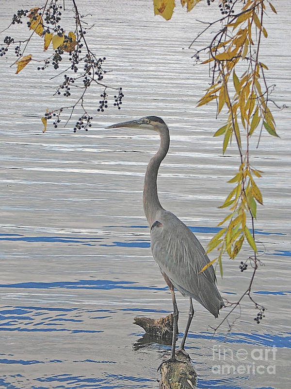 Heron Poster featuring the photograph Great Blue Heron by Ann Horn