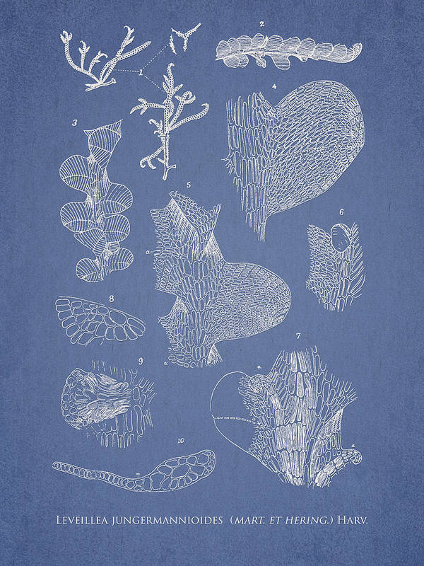 Algae Poster featuring the drawing Leveillea Jungermannioides by Aged Pixel