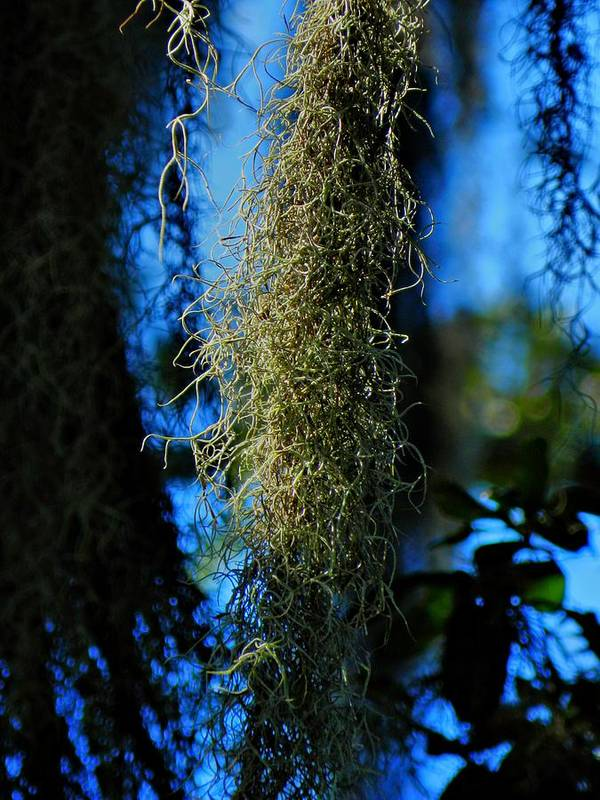 Spanish Moss Poster featuring the photograph New Orleans Tm 0016 by Lance Vaughn