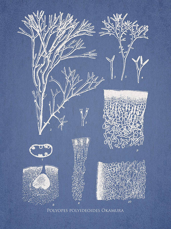 Algae Poster featuring the drawing Polyopes Polyideoides Okamura by Aged Pixel