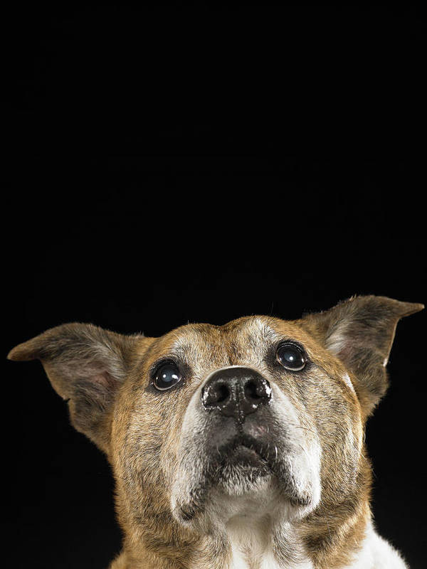 Vertical Poster featuring the photograph Mixed Breed Dog Looking Up by Ryan McVay
