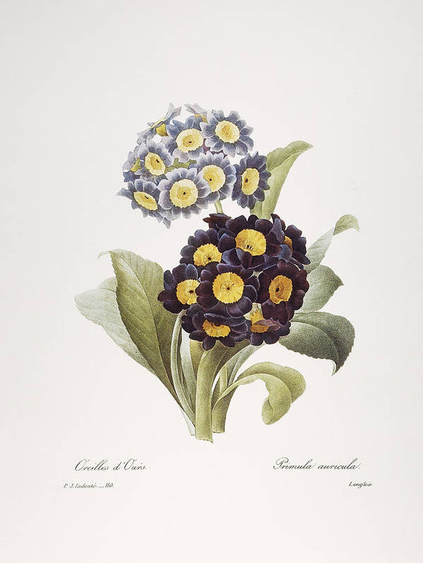 1833 Poster featuring the photograph Redoute: Auricula, 1833 by Granger
