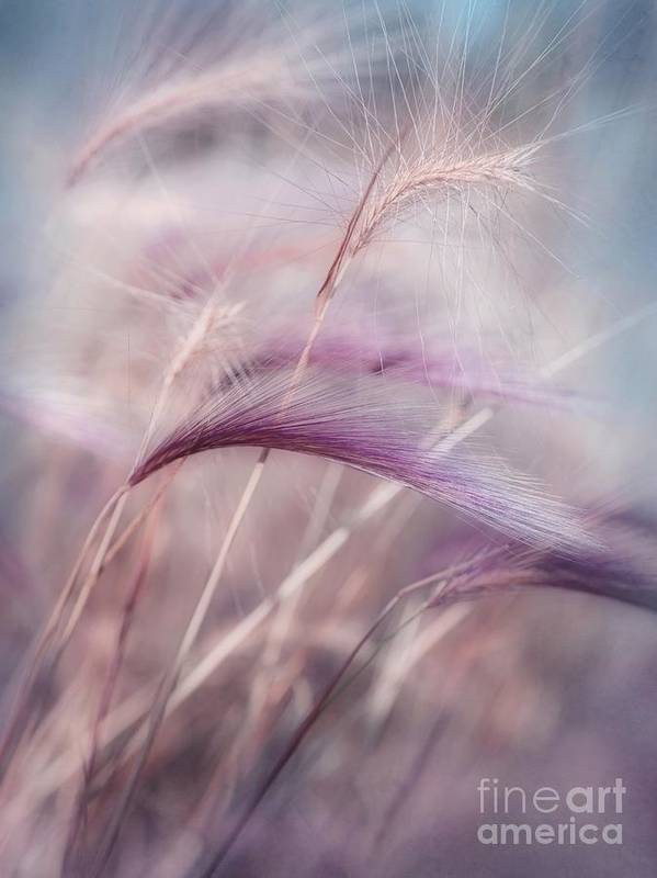 Barley Poster featuring the photograph Whispers In The Wind by Priska Wettstein