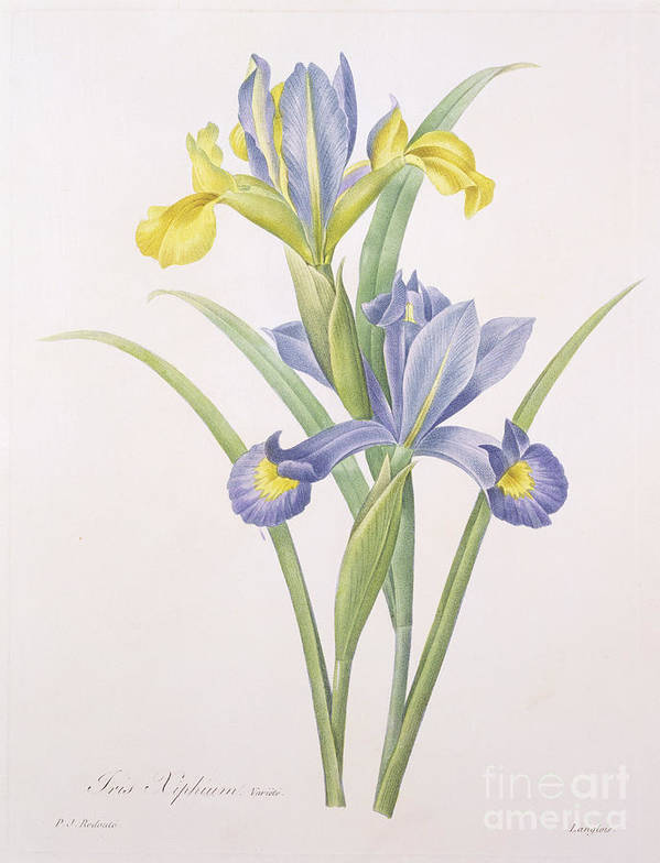 Iris Poster featuring the drawing Iris Xiphium by Pierre Joseph Redoute