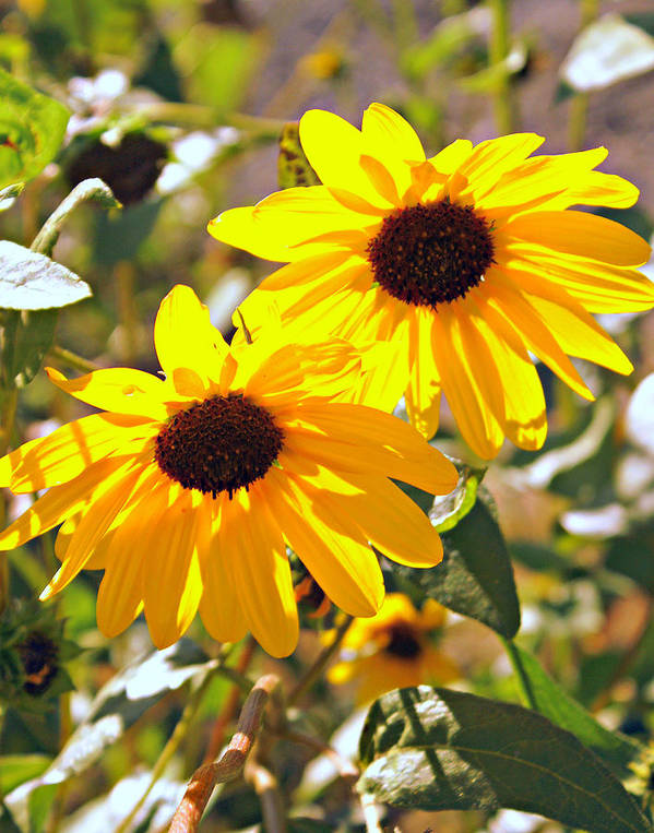 Black Eyed Susan Poster featuring the photograph 080 by Marty Koch