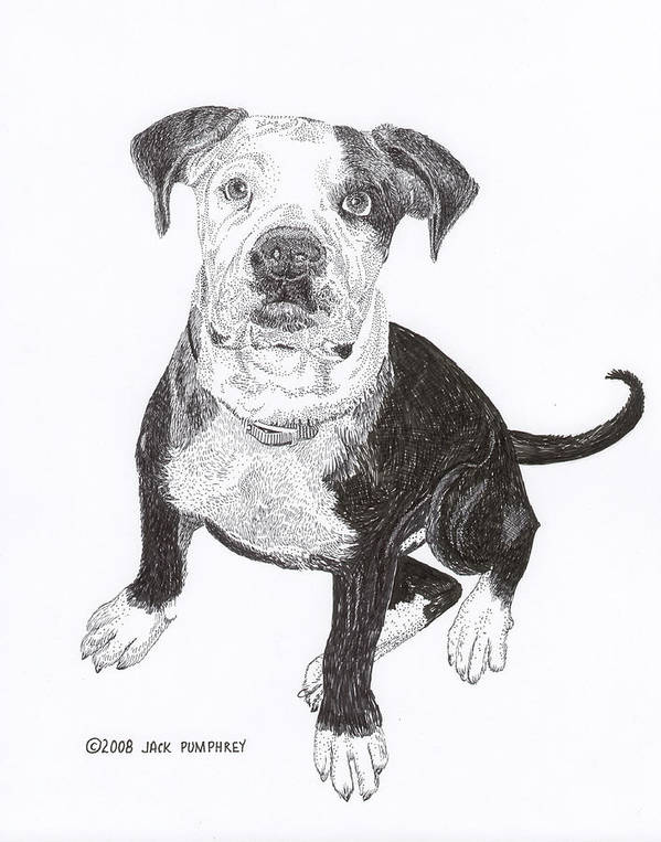 Bull Dog Puppies Poster featuring the drawing American Bull Dog As A Pup by Jack Pumphrey
