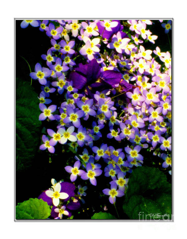 Purple Poster featuring the photograph Bluets And Violets by Diana Tyson