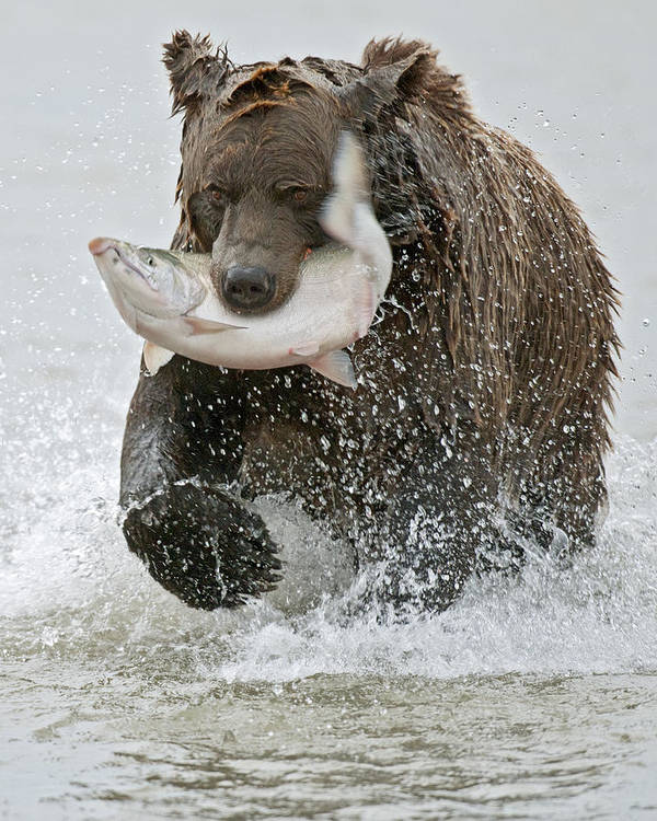 Wild Poster featuring the photograph Brown Bear With Salmon Catch by Gary Langley