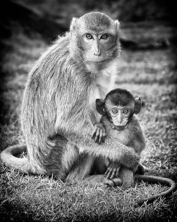 3scape Photos Poster featuring the photograph Mother And Baby Monkey Black And White by Adam Romanowicz