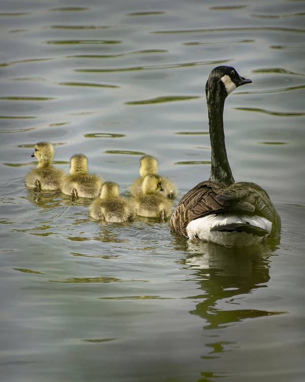 Duckling Poster featuring the photograph Family Swim by Heather Applegate