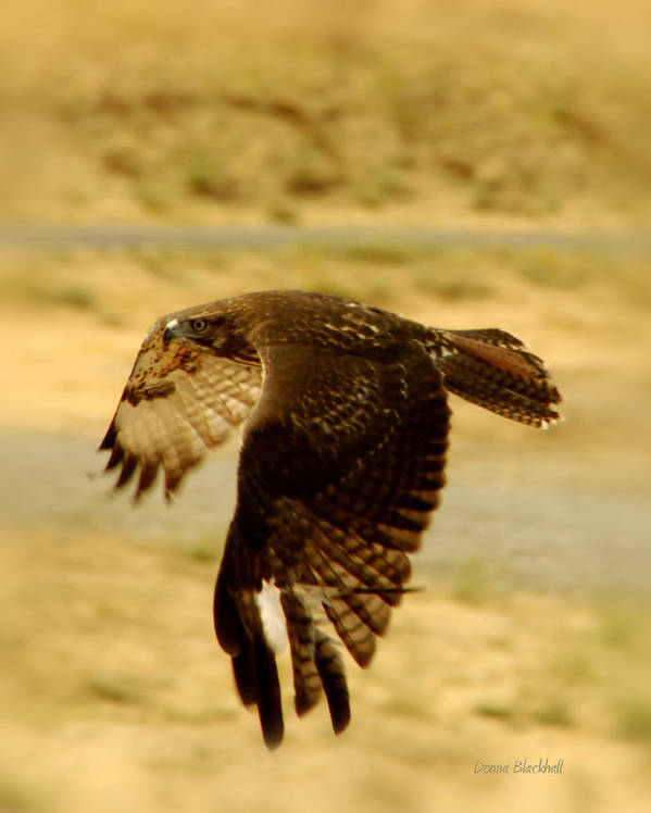 Redtail Hawk Poster featuring the photograph Redtail Flight by Donna Blackhall