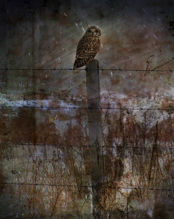 Elm Framed Prints Framed Prints Framed Prints Poster featuring the photograph Short Eared Owl by Empty Wall