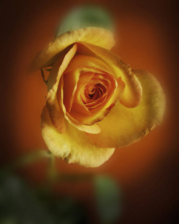 Rose Poster featuring the photograph Soft Yellow Rose Orange Background by M K Miller
