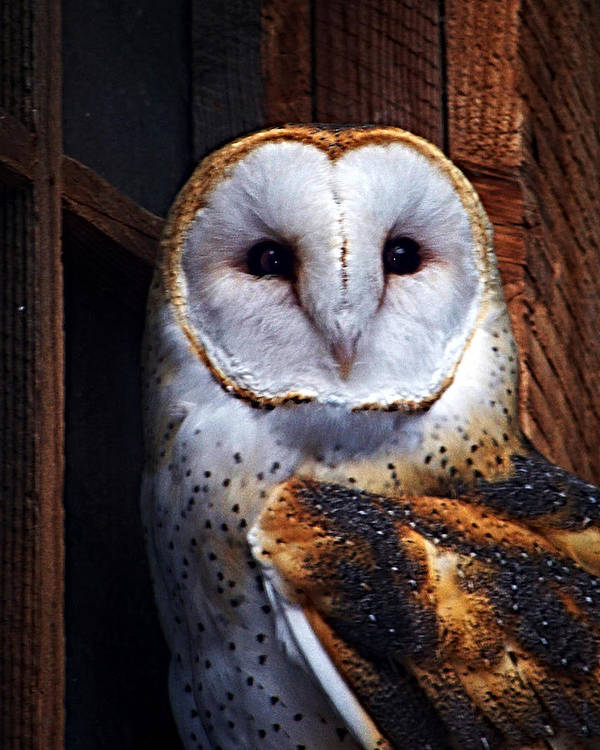 Digital Painting Poster featuring the photograph Barn Owl by Anthony Jones