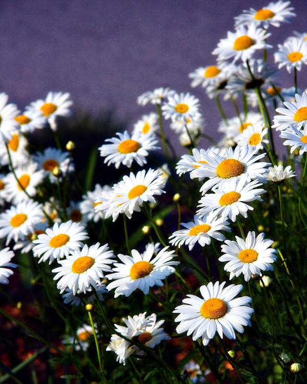 Daisies Poster featuring the photograph Daisies by Lana Trussell