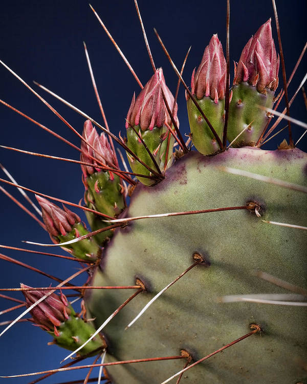 Prickly Pear Poster featuring the photograph Prickly Buds by Kelley King