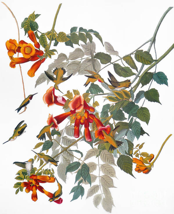 1838 Poster featuring the photograph Audubon: Hummingbird by Granger
