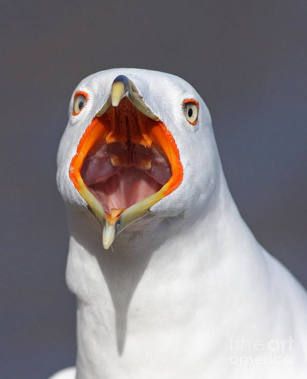 Ring-billed Poster featuring the photograph Gull Portrait by Mircea Costina Photography