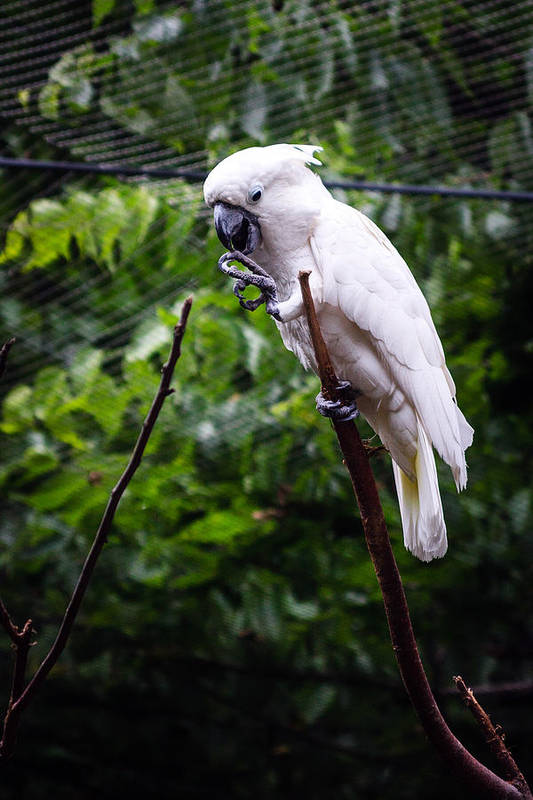 Salmon Crested Cockatoo Poster featuring the photograph Salmon Crested Cockatoo by Sennie Pierson