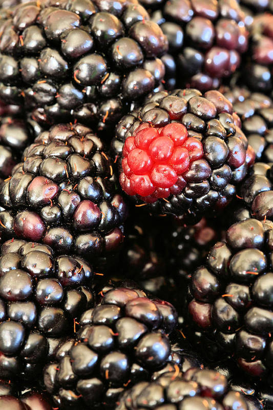 Blackberry Poster featuring the photograph Blackberries by JC Findley