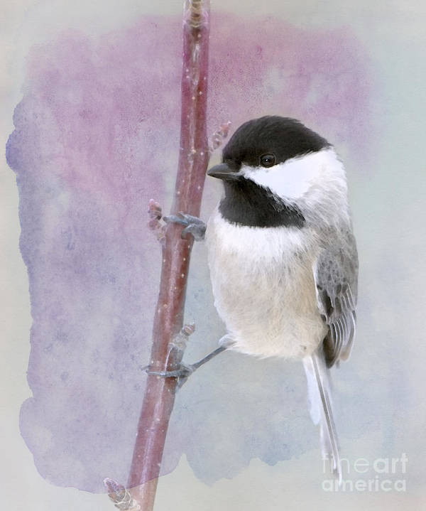 Black-capped Chickadee Poster featuring the photograph A Twinkle In My Eye by Betty LaRue