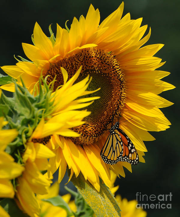 Sunflower Poster featuring the photograph Sunflower And Monarch 3 by Edward Sobuta