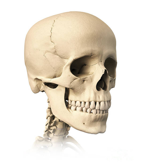 Anatomy Poster featuring the digital art Anatomy Of Human Skull, Side View by Leonello Calvetti