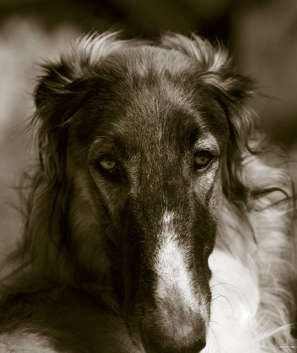 Borzoi Poster featuring the photograph Borzoi Hound Portrait by Christian Lagereek
