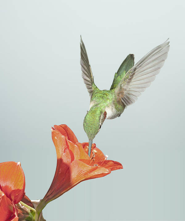 Avian Poster featuring the photograph Amyrillis And Broadtailed Hummingbird by Gregory Scott