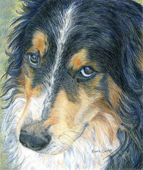 Border Collie Poster featuring the painting Innocent Eyes by Karen Curley