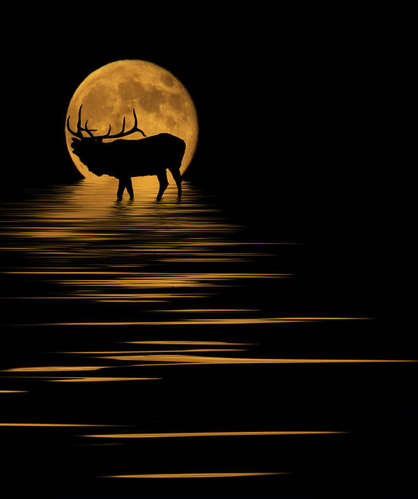 Bugle Poster featuring the photograph Elk In The Moonlight by Shane Bechler