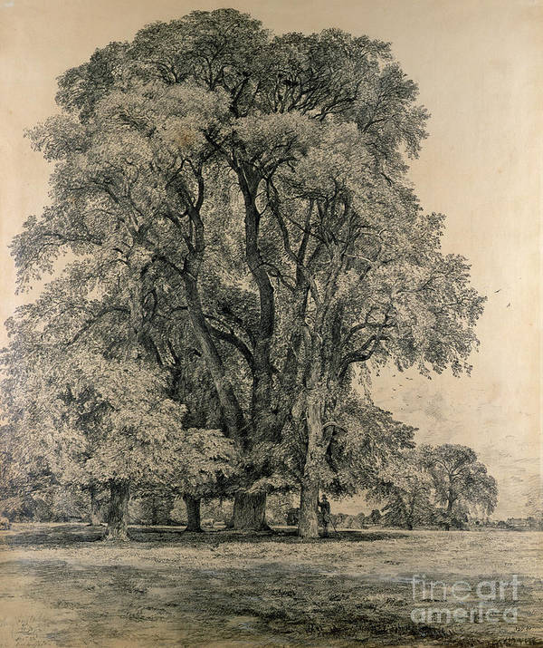 Elm Trees In Old Hall Park Poster featuring the drawing Elm Trees In Old Hall Park by John Constable