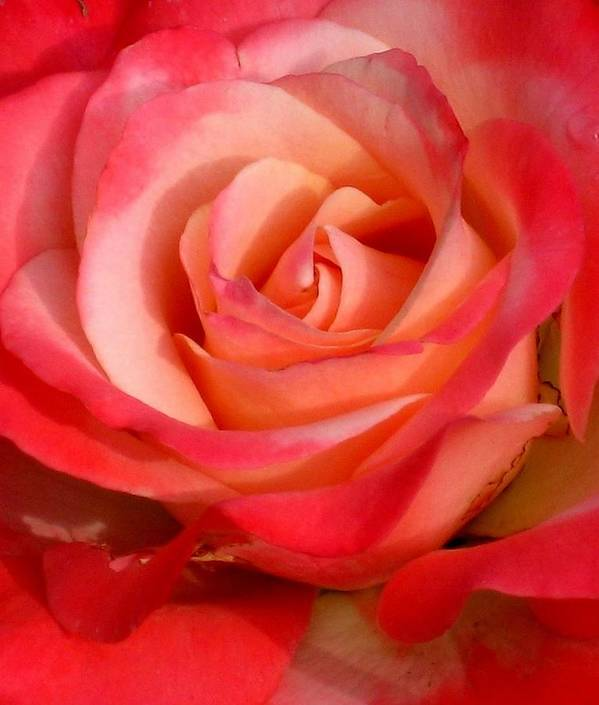 Rose Poster featuring the photograph Sheer Magic by Marla McFall