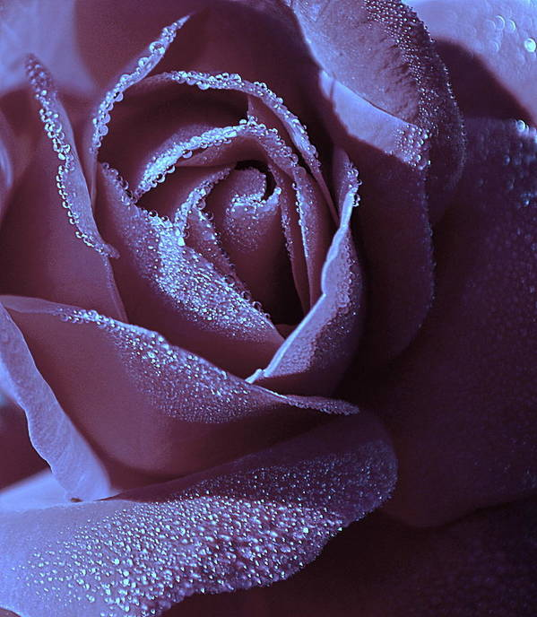 Rose Poster featuring the photograph A Rose That Glitters by Michelle Ayn Potter