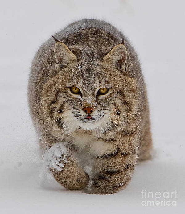 Wildlife Poster featuring the photograph Bobcat Running Forward by Jerry Fornarotto