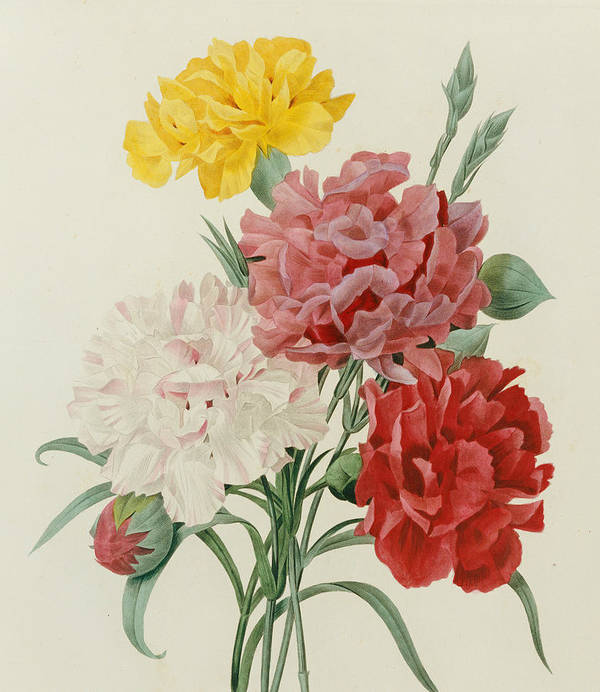 Flower; Plant; Botany; Botanical Poster featuring the painting Carnations From Choix Des Plus Belles Fleures by Pierre Joseph Redoute